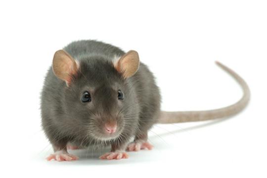 rat-gray-rat